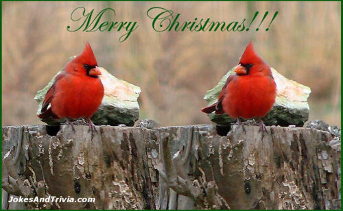 Two Cardinals Merry Christmas