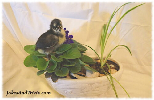 chick on African Violet plant