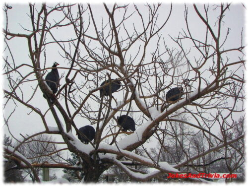 guinea fowl in snowy tree
