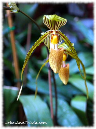 Lady Slipper photo