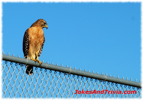 picture of red shouldered hawk