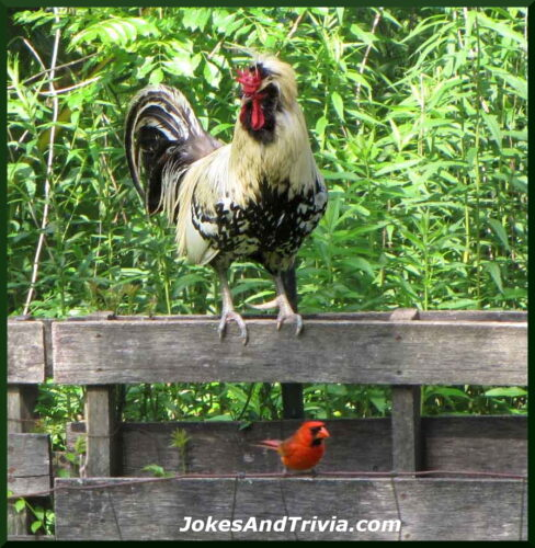 rooster and cardinal