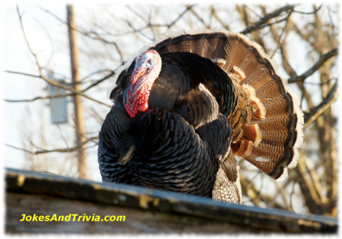 wild tom turkey on roof