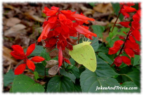 yellow butterfly on red flowers